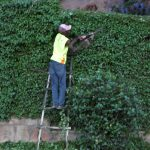 Man cutting hedge with shears